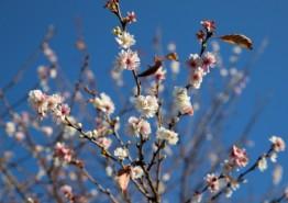 [포토뉴스] '때 아닌 벚꽃 활짝!'